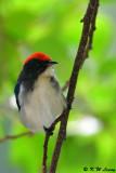 Scarlet-backed Flowerpecker DSC_0699