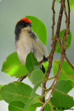 Scarlet-backed Flowerpecker DSC_0717