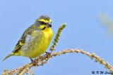 Yellow-fronted Canary (黃額絲雀/石燕)