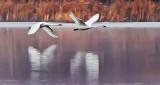 Swans In Flight P1180715