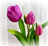 Pretty Pink Tulips P1180730-2