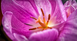 Sidelit Pretty Pink Tulip Closeup P1180768-70