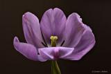 Tired Tulip P1180935-40