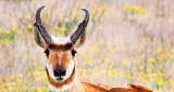 Pronghorn Face 8005A