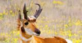Pronghorn Posing 8006A
