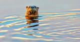 Otter Head DSCN07436