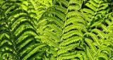 Backlit Ferns DSCN08633