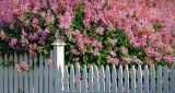 Lilacs & Fence DSCN09492