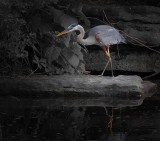 Great Blue Heron DSCN10232
