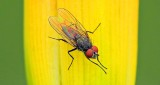 Fly On A Budding Daylily DSCN11070