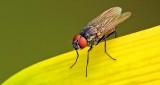 Fly On A Budding Daylily DSCN11078