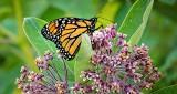 Monarch On A Milkweed DSCN13084