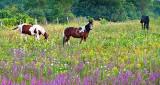 Grazing In A Field Of Wildflowers P1220601.9