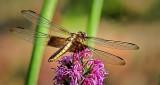 Dragonfly On A Purple Flower DSCN13174