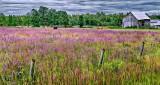 Purple Loosestrife Pasture P1220900-2