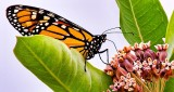 Monarch On A Milkweed DSCN13098
