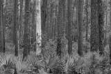 Ghost Tree 55627BW