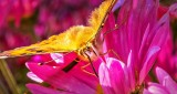 Butterfly Sucking Up Nectar DSCN15393