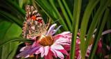 Butterfly On A Pink Flower DSCN15246