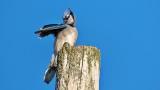 Preening Blue Jay DSCN5476