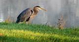 Heron On The Shore DSCN15507