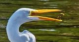 Egret With Snack DSCN15742 (crop)