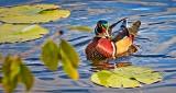 Male Wood Duck DSCN15832