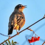 Singing Robin DSCN16809