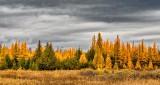 Autumn Tamaracks DSCN17097