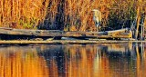 Heron On A Log At Sunrise DSCN17305
