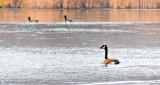 Honking Goose DSCN17984