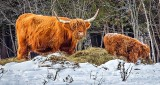 Cow & Calf Feeding DSCN18274