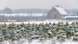 Field Of Snowy Christmas Trees P1280779-81