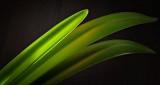Sunstruck Amaryllis Leaf DSCN18807