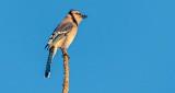 Blue Jay Atop A Tree DSCN18998
