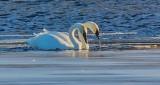 Sychronized Swans DSCN19364