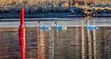 Three Swans Aswimming DSCN19433