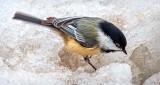 Chickadee On Ice DSCN19334