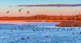 Migrating Geese At Sunrise DSCN19563