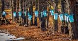 Tapped Trees DSCN19576