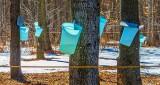 Tapped Trees DSCN19572