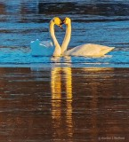 Swan Love At Sunrise DSCN19914