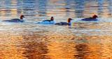 Common Mergansers At Sunrise DSCN19929