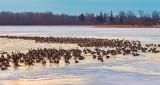 A Few Geese DSCN19946