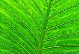 Backlit Tropical Leaf DSCN20417-9