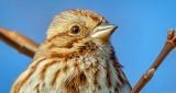 Song Sparrow Portrait DSCN20607