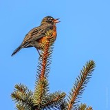 Robin Atop A Pine Tree Singing DSCN20792