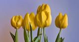 Yellow Tulips P1300359-61