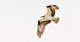 Osprey In Flight DSCN21026