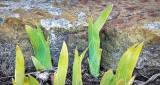 Sprouting Irises DSCN21154